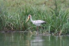 Yellow billed stork Stock Photos
