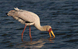 Yellow billed stork Stock Photography
