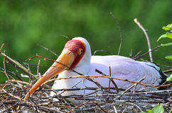 Yellow billed stork on its nest Royalty Free Stock Images