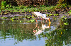 Yellow billed Stork and its reflection Royalty Free Stock Photo