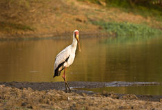 Yellow billed stork , Kruger national park, SOUTH AFRICA Royalty Free Stock Photography
