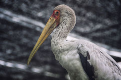 Yellow billed stork in Kuala Lumpur zoo Royalty Free Stock Photography