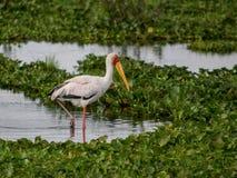 A Yellow-billed stork at Lake Naivasha, Rift Valley, Kenya stock photography