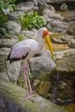 Yellow billed stork Stock Image