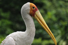 Yellow-billed stork, Mycteria Ibis,. Portrait from the yellow-billed stork Stock Image