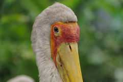 Yellow-billed stork, Mycteria Ibis, Royalty Free Stock Images