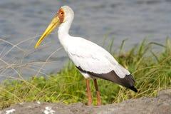 Yellow-billed stork - Mycteria Ibis Royalty Free Stock Photo