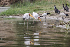 Yellow-billed stork - Mycteria Ibis Royalty Free Stock Photography