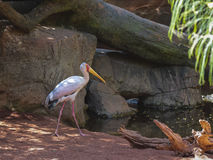 Yellow Billed Stork, (Mycteria Ibis) Stock Photos