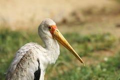 Yellow-billed stork - Mycteria Ibis - African wood stork Royalty Free Stock Photos