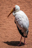 Yellow-Billed Stork (Mycteria ibis) Royalty Free Stock Photography