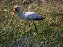 Yellow-billed stork. (Mycteria ibis) in Chobe National Park, Botswana Royalty Free Stock Photo