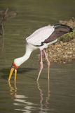 Yellow-billed Stork (Mycteria ibis). Fishing Royalty Free Stock Images