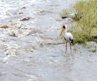 Yellow-billed stork (Mycteria ibis) Stock Photography
