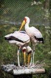 Yellow-billed stork (Mycteria ibis) Stock Photos