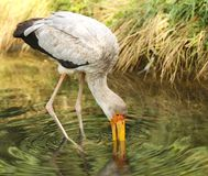 Yellow-billed stork - Mycteria Ibis - hunted in water Royalty Free Stock Photo