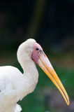 Yellow-billed Stork Stock Image