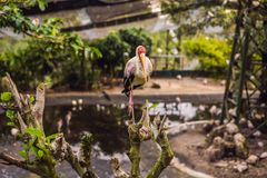The Yellow-billed Stork, Mycteria ibis, is a large wading bird in the stork family Ciconiidae.  royalty free stock photography