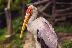 The Yellow-billed Stork, Mycteria ibis, is a large wading bird in the stork family Ciconiidae.  stock image