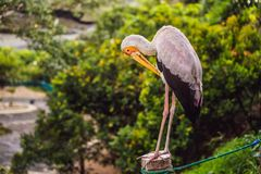 The Yellow-billed Stork, Mycteria ibis, is a large wading bird in the stork family Ciconiidae.  stock photo