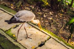The Yellow-billed Stork, Mycteria ibis, is a large wading bird in the stork family Ciconiidae.  royalty free stock photo
