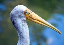 The Yellow-billed Stork, Mycteria ibis Royalty Free Stock Images