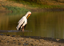 Yellow-billed stork (Mycteria ibis) in the river bank, letaba, kruger nationl Park Royalty Free Stock Photos