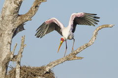 Yellow Billed Stork (Mycteria ibis) South Africa. A Yellow Billed Stork flaps its wings in South Africa's Kruger Park. (Mycteria ibis Royalty Free Stock Images