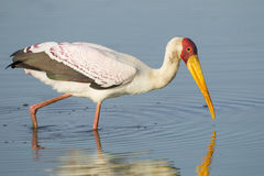 Yellow Billed Stork, (Mycteria ibis), South Africa. Yellowbilled stork, (Mycteria ibis), South Africa, fishing in water in the Kruger Park Stock Image