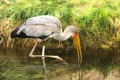 Yellow-billed stork - Mycteria Ibis - walk in water Royalty Free Stock Photos