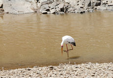A yellow billed stork near Mara river Royalty Free Stock Photography