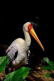 Yellow Billed Stork peers at camera Stock Image