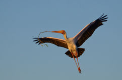 Yellow-billed Stork Royalty Free Stock Photo