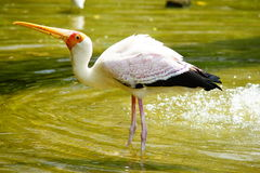 Yellow-billed Stork. Playing in the water as usual Stock Photos