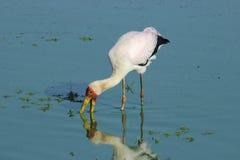 Yellow billed stork Royalty Free Stock Image