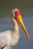 Yellow-billed stork portrait Stock Images