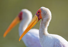 Yellow-billed stork portrait Royalty Free Stock Photography
