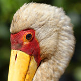 Yellow-billed stork. Portrait of a yellow-billed stork royalty free stock image