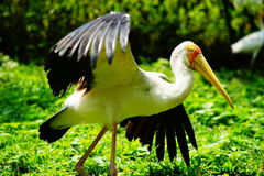 Yellow-billed Stork. Ready to fly Stock Photo
