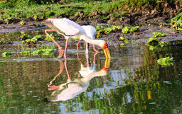 Yellow Billed stork and reflection Stock Image
