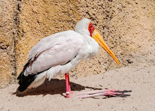 Yellow Billed Stork resting Royalty Free Stock Photos
