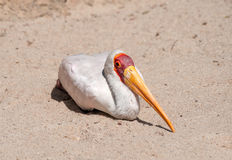 Yellow Billed Stork resting Royalty Free Stock Photos