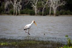 Yellow-billed stork, Selous National Park, Tanzani. The Yellow-billed Stork, Mycteria ibis, is a large wading bird in the stork family Ciconiidae. It occurs Stock Photography