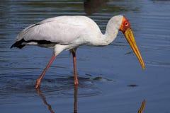 Yellow-billed stork, Serengeti NP, Tanzania Stock Photography