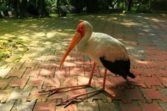 A yellow-billed stork sits on a floor in the shade. stock image