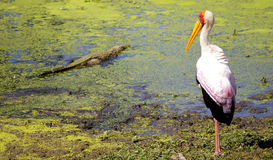 Yellow billed stork with small crocodile Stock Photography