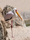 Yellow Billed Stork standing Royalty Free Stock Photography