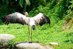 Yellow-billed Stork. Stay below the sun shines. This species has unusual and specialized bill and feeding techniques Stock Image