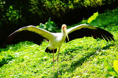 Yellow-billed Stork. Stay below the sun shines. This species has unusual and specialized bill and feeding techniques Royalty Free Stock Image
