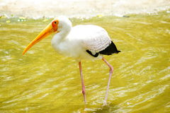 Yellow-billed Stork. Staying in the water Stock Images